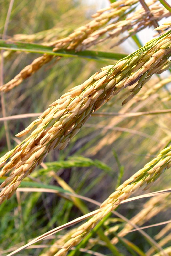 rice-gluten-free-flours